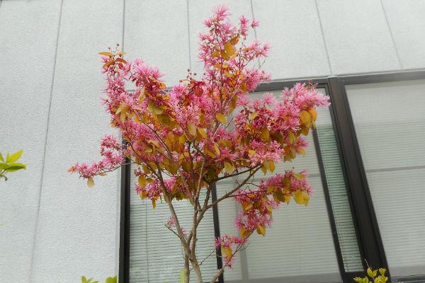 トキワマンサク紅花