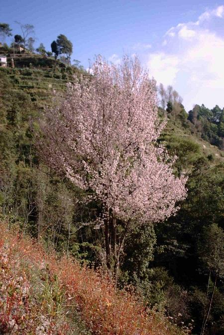 再サイズhimaraya桜バネパ