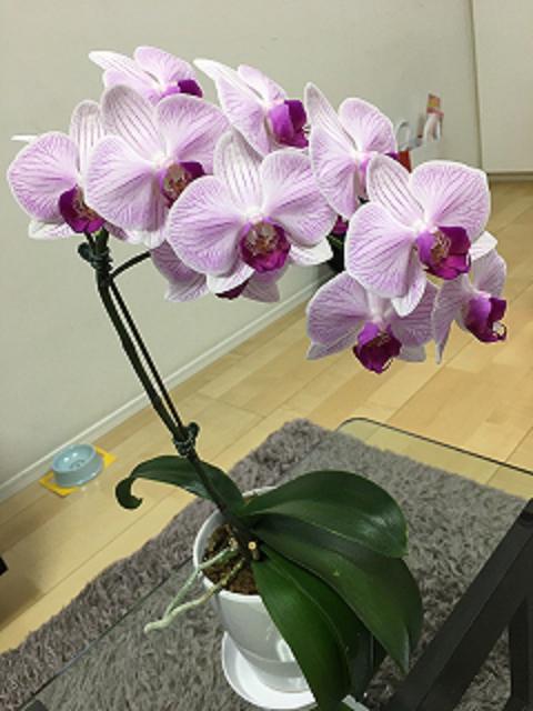 胡蝶蘭花1