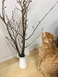 サクラ蕾ネコ